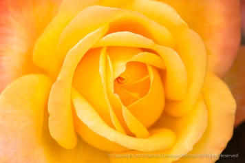 Bright Yellow Rose, 9.13.16