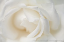 Canadian White Star Rose (I), 4.20.15