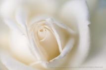 Canadian_White_Star_Rose_(I),_8.19.15