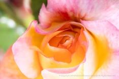 Charivari Rose (I), 4.30.18