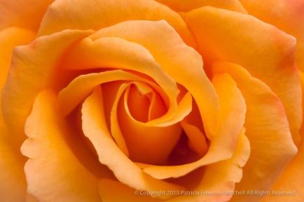 Chris_Evert_Rose_(I),_8.19.15