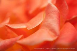 Chris Evert Rose Petals, 8.20.15