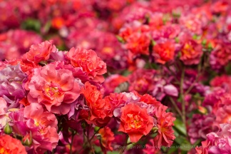 Cinco de Mayo Rose (I), 5.5.17