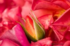 Cinco de Mayo Rosebud, 5.5.17