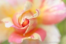 Claude_Monet_Rose_(I),_7.14.15