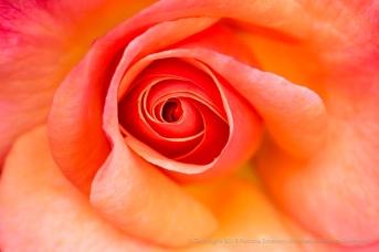 Colorific Rose (II), 6.12.17