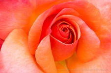 Colorific Rose (I), 6.12.17