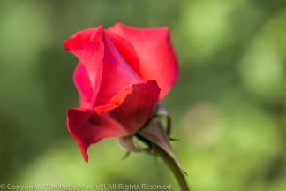 Coral_Rose,_9.23.14
