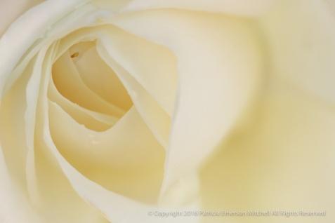 Cream_Rose,_10.17.16