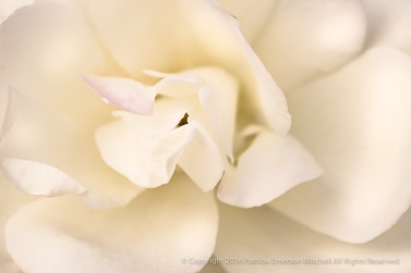 Cream Rose with a Touch of Pink, 12.27.16