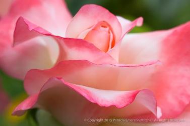 Crescendo Rose (II), 8.4.15
