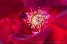 Crimson_Glory_Rose,_8.24.15