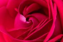 Dame de Coeur Rose, 4.23.18