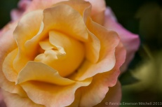 December_Rose,_12.13.13