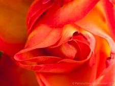 December_Rose,_12.19.13