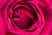 Deep Pink Rose, 12.8.17