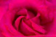 Deep Pink Rose, 5.2.17