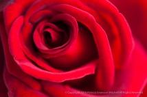 Deep Red Rose, 11.3.14