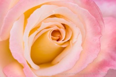 Dew Drops on a Pink and Yellow Rose, 11.7.16
