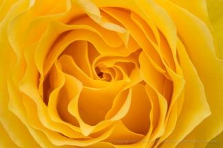 Doris_Day_Rose_(II),_7.12.17