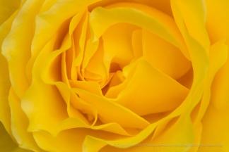 Doris Day Rose (I), 7.12.17