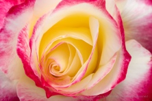 Double Delight Rose, .4.4.18