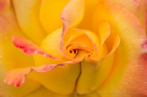 Double Yellow Swirl, 12.14.16