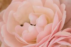 Dresden Doll Miniature Rose, 4.26.16
