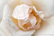 Duchesse_de_Gramont_Rose,_8.24.15