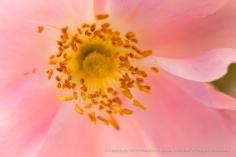 Duplex_Rose,_4.23.14