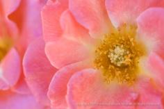 Echo Rose, 8.31.15
