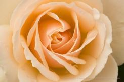 Edelweiss Rose (II), 11.17.17