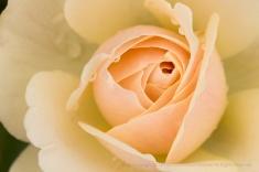 Edelweiss Rose, 11.17.17