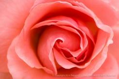 Elysium Rose (I), 5.9.16