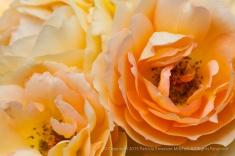 Eureka Rose (I), 9.24.15