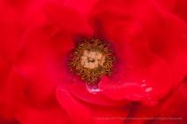 Europeana Rose (II), 10.19.15