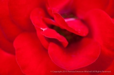 Europeana Rose (I), 10.19.15
