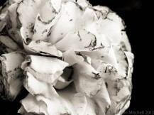 Faded_Rose