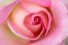 Falling in Love Rose, 10.1.18