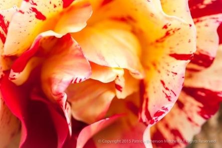 Festive_Rose,_4.28.15