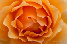 First_Shot-_Apricot_Rose,_7.16.15