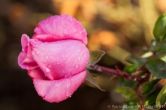 First_Shot-_First_Rain_on_Pink_Rose