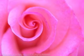 First_Shot-_My_Neighbor's_Rose,_9.26.14
