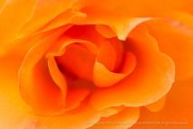 First Shot: Orange Rose, 10.24.16