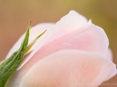 First_Shot-_Pale_Pink_Rose,_2.17.14