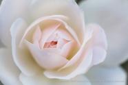 First_Shot-_Pale_Rose,_3.3.15