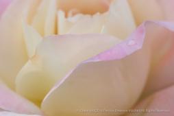 First_Shot-_Pale_Rose,_5.16.16