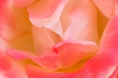 Fiirst Shot: Pastel Rose, 4.27.17