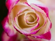 First_Shot-_Pink-edged_Rose,_11.17.14