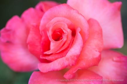 First_Shot-_Pink_Rose,_10.16.15